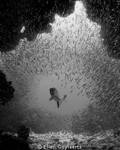 Tarpon entering grotto at dawn  During daytime silversi... by Ellen Cuylaerts