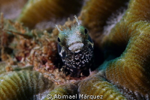 Blenny 2 by Abimael Márquez