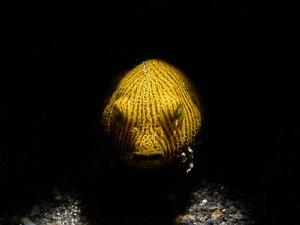 Snooted baby puffer fish (Arothron stellatus) by Alex Varani