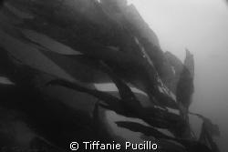 Kelp at Santa Cruz in the Channel Islands. by Tiffanie Pucillo