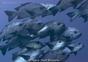 White snapper