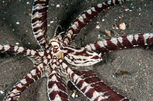 Geometric mimic octopus. by Mehmet Salih Bilal