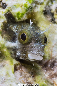 A secretary blenny taking a peak at the camera by Marteyne Van Well