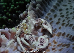 Plankton catching porcelain crab by Andre Philip