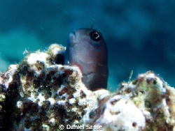 The Picture of a Dusky Blenny taken at Phi Phi Islands! C... by Daniel Sasse