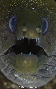 Always a challenge to get a great shot of a moray eel. by Beat J Korner