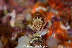 Gnathophyllum_elegans by Alessandro Pagano