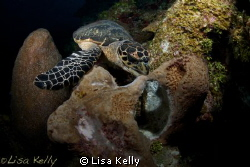 Yum, breakfast!  This turtle had to fend off another turt... by Lisa Kelly