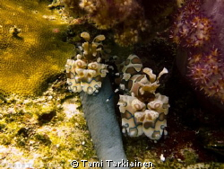 Harlequin Shrimps in Richeliu Rock by Tami Tarkiainen