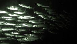 Mackeral shoal. Nikon D70 14mm lens. by Grant Kennedy
