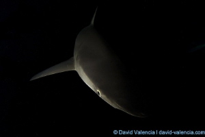 Silky shark in the very early morning. As the water warms... by David Valencia