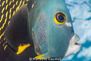 Close up encounter with a French Angelfish by Marteyne Van Well