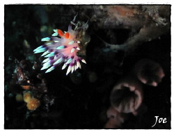 Flabellina taken with Canon G10 and handheld torch by Joe Klakus