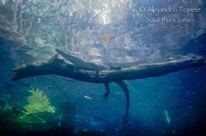 Cocodrile on trunk Cenote Angelita, Tulum Mexico by Alejandro Topete