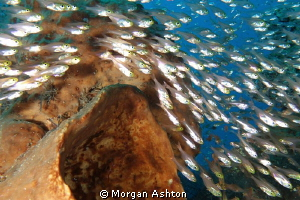 A cloud of silversides at Komodo National Park by Morgan Ashton