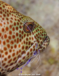 Grouper being cleaned by a Pederson's cleaning shrimp by Marteyne Van Well