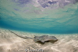Stingray in the Cayman Islands by Lisa Kelly