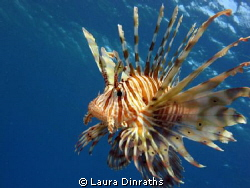 Lionfish by Laura Dinraths