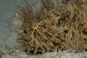 Striated Hairy Frogfish Under the Bridge by John Roach