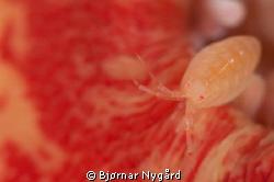 Amphipoda on anemone by Bjørnar Nygård