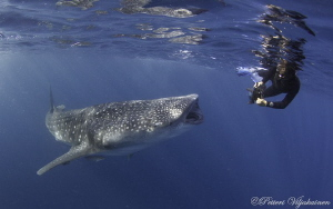 Photographing the whale shark. Canon 7D. Tokina 10-17. by Petteri Viljakainen