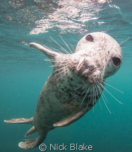 An inquisitive seal at Lundy Island by Nick Blake