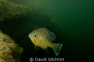 Colourful Pumpkinseed Sunfish with wide-angle, in local q... by David Gilchrist