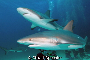 Predators!  Two hungry sharks circling the bait box.  Won... by Stuart Spechler