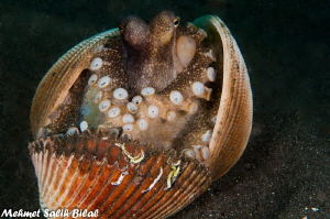 A Coconut octopus in lembeh. by Mehmet Salih Bilal