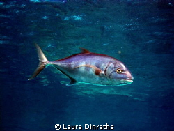 Trevally! by Laura Dinraths