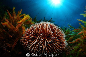 sea urchin by Oscar Miralpeix