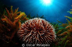 sea urchin by Oscar Miralpeix