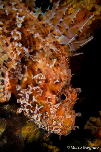 Scorpaena scrofa, night dive, portrait by Marco Gargiulo