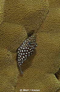 A Spotted Toby has a bad camouflage in a coral like that. by Beat J Korner