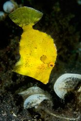 Juvenile Filefish, Lembeh by Paul Whitehead