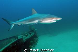 Beauty in motion.  Elegant shark circling the bow of a sh... by Stuart Spechler