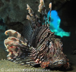 Lion Fish by Luca Bolognesi