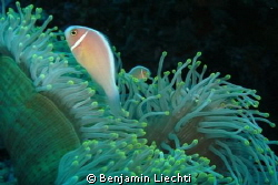 Pink anemonefish by Benjamin Liechti