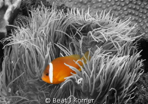 Outstanding tomato anemone fish in Fiji. by Beat J Korner