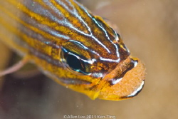 Cardinalfish with eggs. by Allen Lee