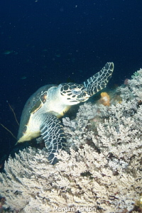 Turtle feeding on coral by Morgan Ashton