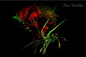Lobster @Reef Fluo Dive by Doris Vierkötter
