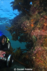 Diver approaching wall covered with Ecklonia kelp by Daniel Poloha