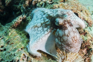 Octopus flying on the Reef, Veracruz Mexico by Alejandro Topete