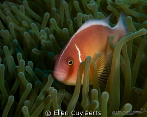 Pink Anemonefish  My first time diving in another sea t... by Ellen Cuylaerts