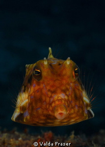 Thornspine cowfish. by Valda Fraser