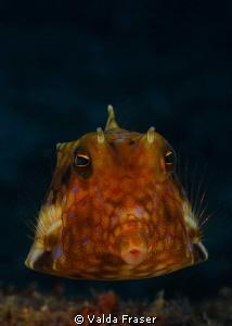 Thornspine cowfish. by Valda Fraser