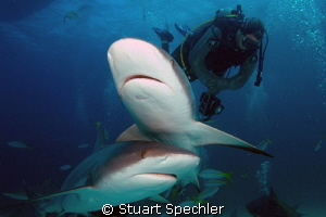 Dinnertime!  Hungry Caribbean reef sharks gathering for a... by Stuart Spechler