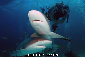 Dinnertime!  Hungry Caribbean reef sharks gathering for a... by Stuart Spechler