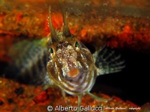 Parablennius tentacularis by Alberto Gallucci